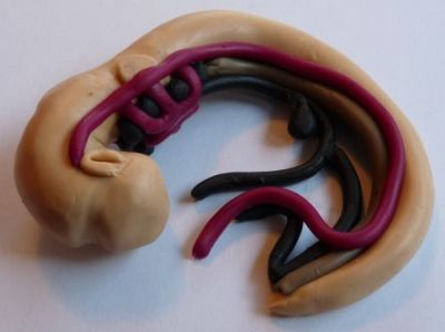 Embryo model with some blood vessels