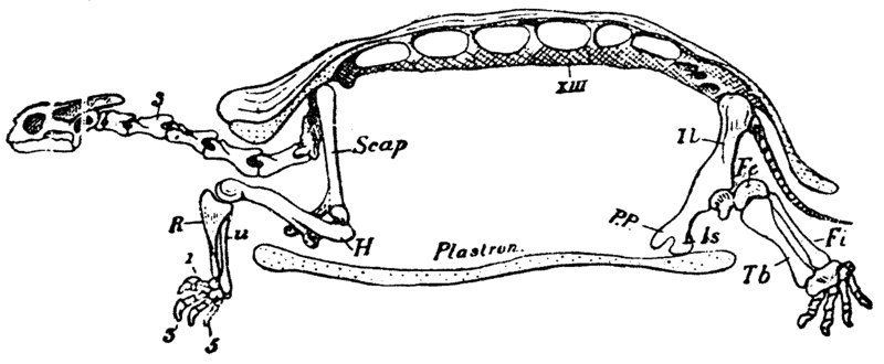 Side view of turtle skeleton
