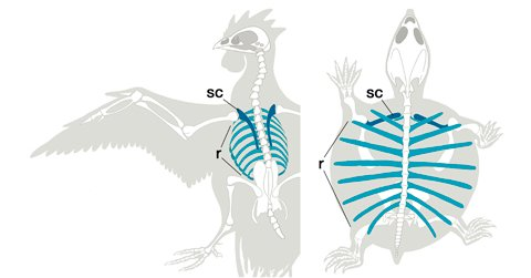 Dorsal view of chicken and turtle scapula and ribs