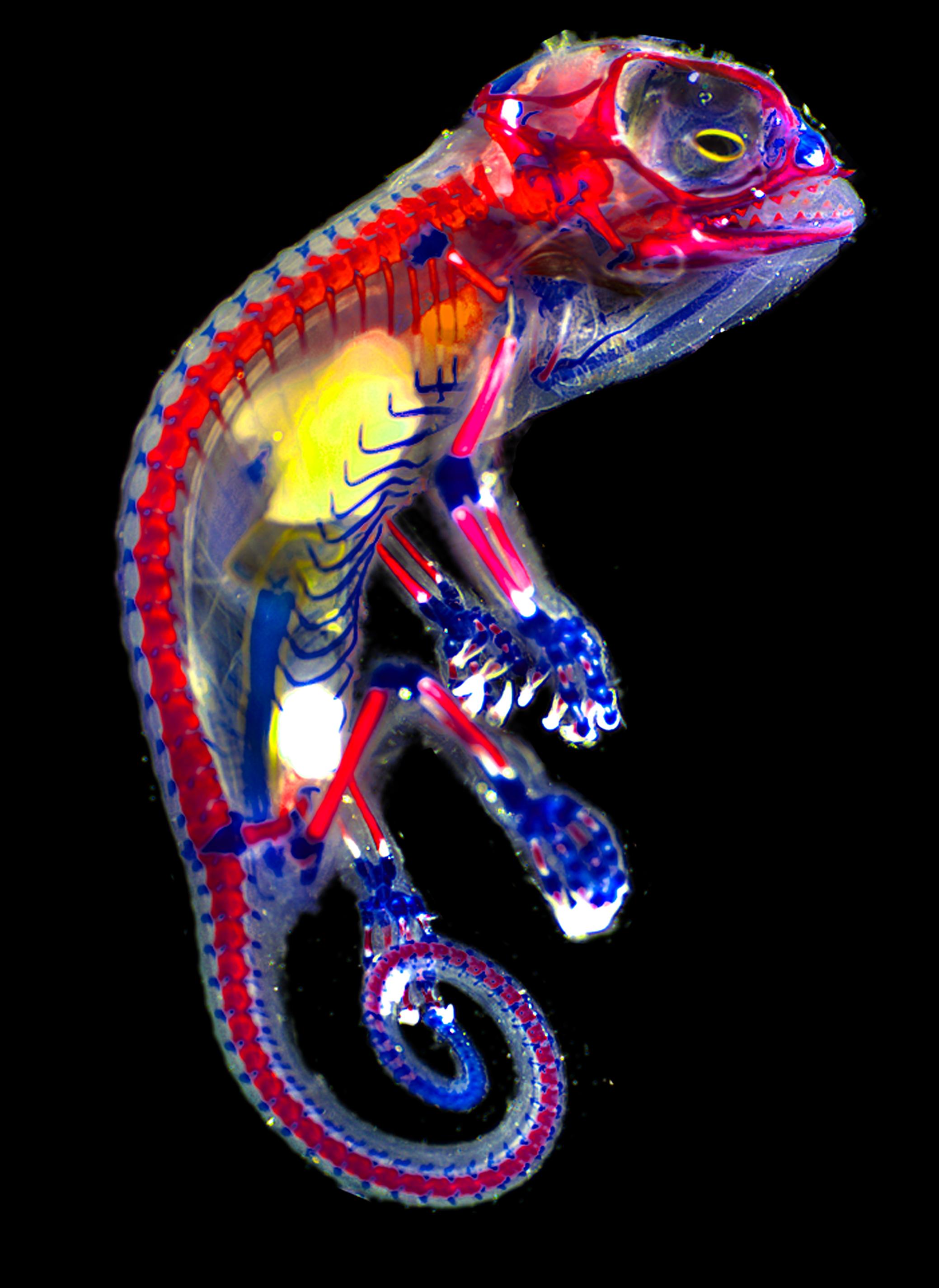 Veiled chameleon skeleton - photo#23