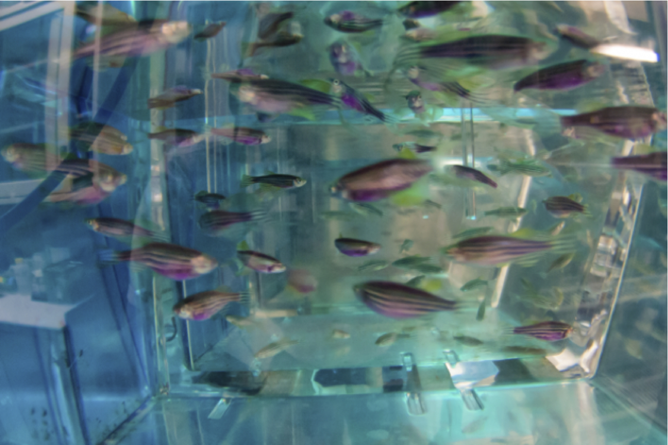 A tank of transgenic zebrafish