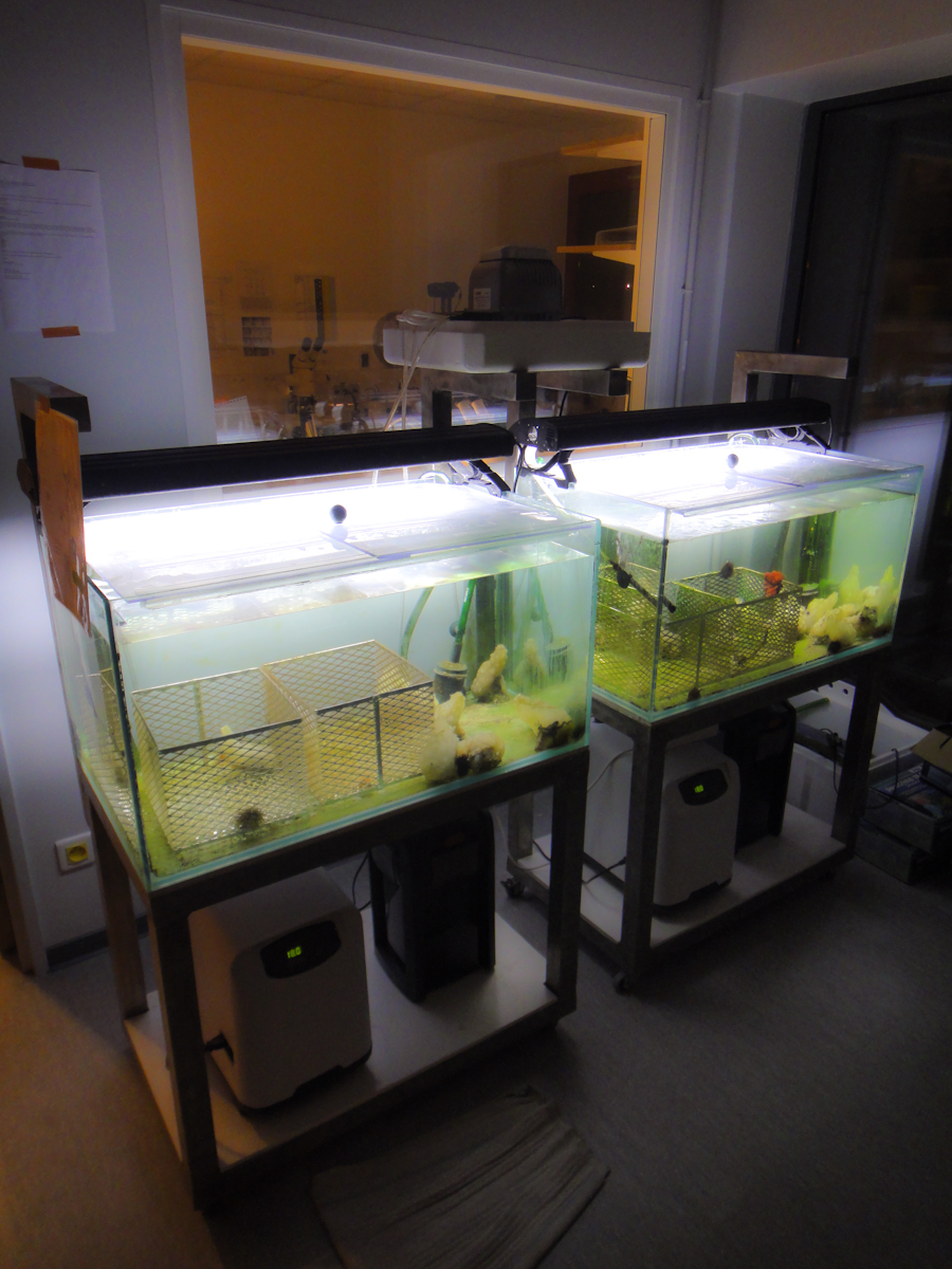 Our ascidian tanks - a main attraction within our building where newcomers can come to admire our animals.
