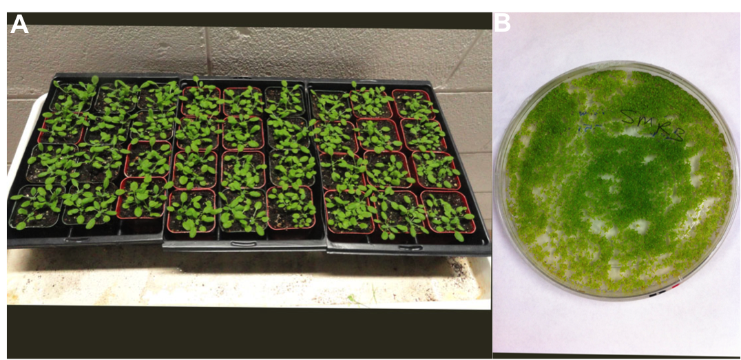 A day in the life of an arabidopsis lab the node for Soil and plant lab