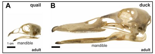 Figure 1: Species-specific differences adult quail (A) and duck (B) skulls showing species-specific differences in jaw size