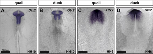 Figure 2: Species-specific differences appear early during development. HH6 quail and duck embryos were compared molecularly by performing in situ hybridization for Otx2 at HH10 (A, B) and HH6 (C,D).