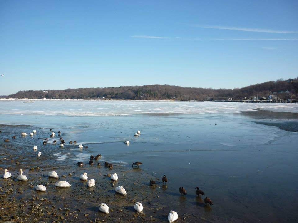 Waterfowl at the frozen shore of Cold Spring Harbor, next to Cold Spring Harbor Laboratories the site of the 2014 Avian Model Systems meeting