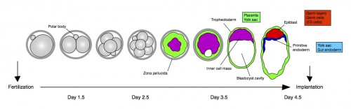 Cartoon and timeline for the main stages of mouse preimplantation development, from the zygote (left) to the blastocyst (right). Cell lineages and their contributions later in development (boxes) are color coded: trophectoderm (green), primitive endoderm (blue), epiblast (red). Inner cell mass (purple). Implantation takes place approximately at day 4.5 of development.