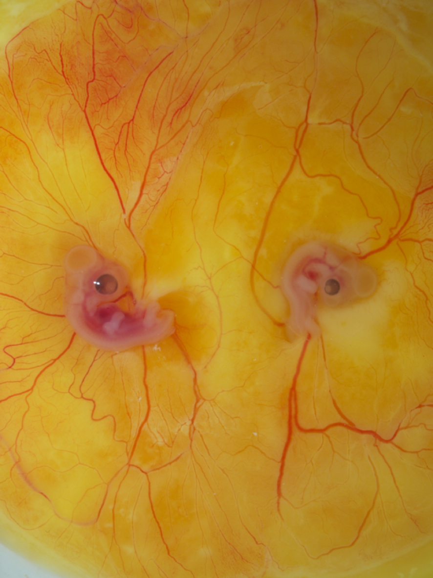 Figure 1. Parabiosed twins created by the MC method and cultured with whole-embryo transplantation. Left is quail, right is chicken.