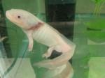 A.mexicanum albino
