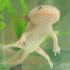 axolotl squared