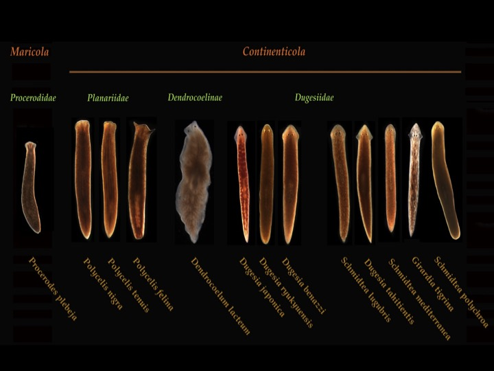 lab report on planarian Biology: planaria lab biology: flatworm webquest biology: dissection - earthworm laboratory report: sample format penncrest high school the planaria lab 1 remove a planarian from the jar at the front of the room using a pipette.