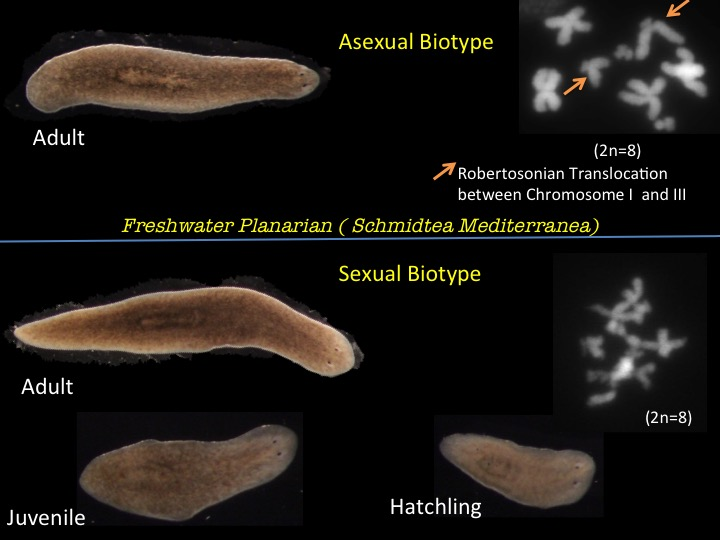 physiology of planarians