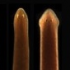 planaria sqaure