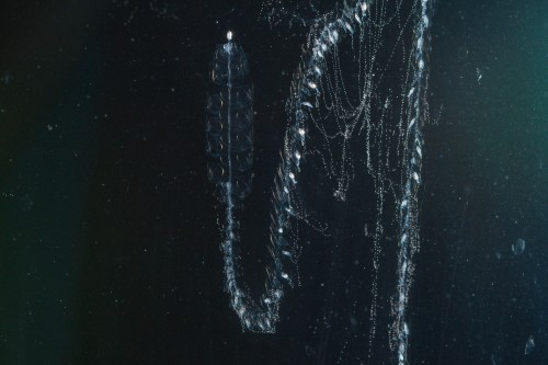 This siphonophore species is found locally off the coast of Rhode Island. Siphonophores consist of a gas filled float (top left), swimming bodies (directly below the float), and a series of feeding, defensive, digestive and reproductive bodies (arranged on the stem below the swimming bodies). Photo credit: C. Munro