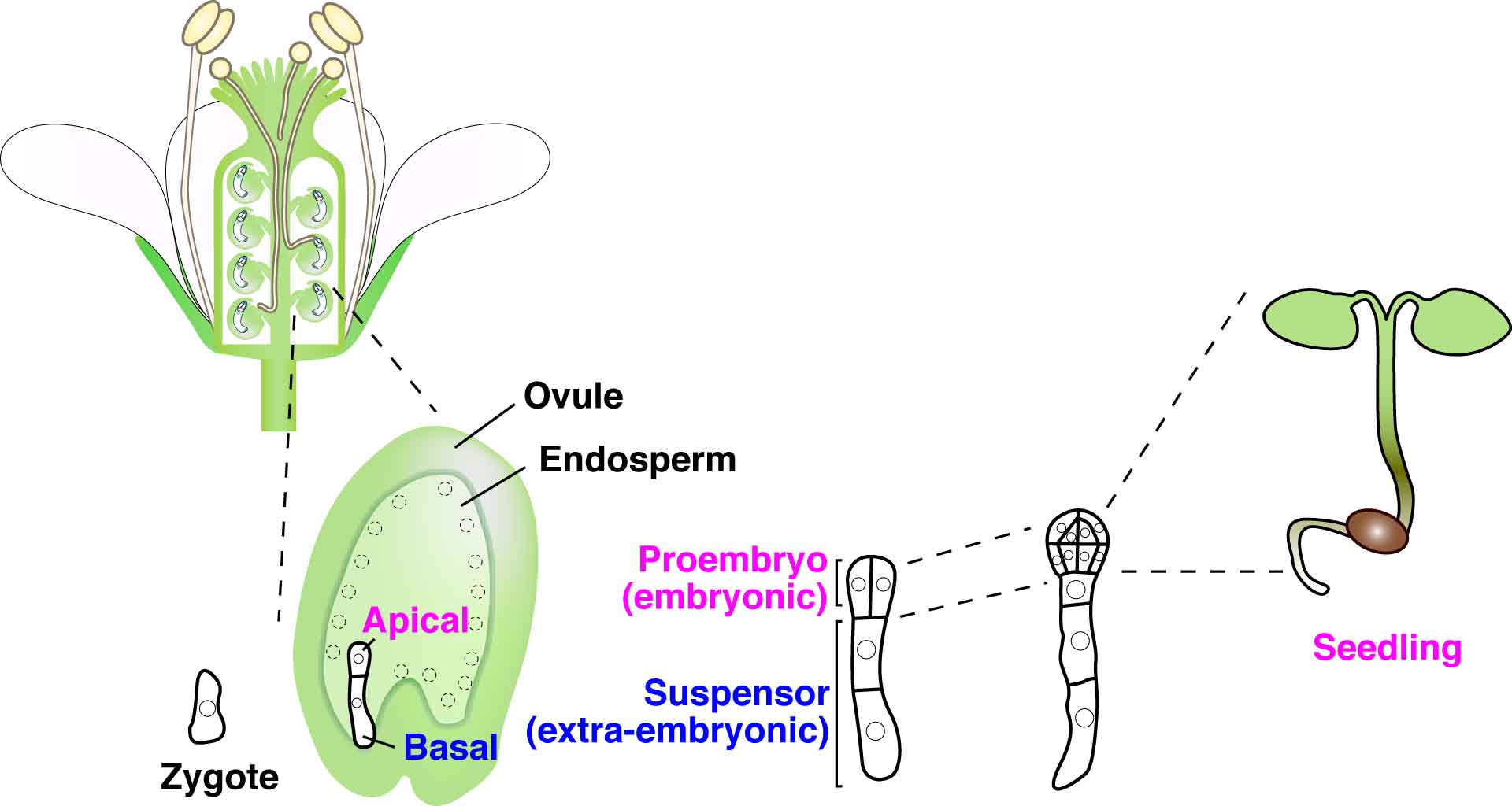 Live-cell analysis of plant embryogenesis: Live-cell ...