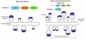 Figure 2: Schematic showing the effect of SRGAP2 function of dendritic spine morphology. Left: Dendritic spines in a wild-type mouse expressing endogenous SRGAP2A. Right: Altered dendritic spine morphology in mice expressing human SRGAP2C. Dendritic spine neck length and density was increased and spines developed more slowly (neoteny). Postsynaptic density (shown as a purple gradient) was not affected. Adapted from