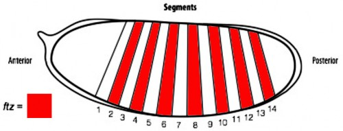 Figure 2. A diagram of a Drosophila embryo with 14 segments subdividing its anterior-posterior axis, which is achieved through the expression of patterning genes.