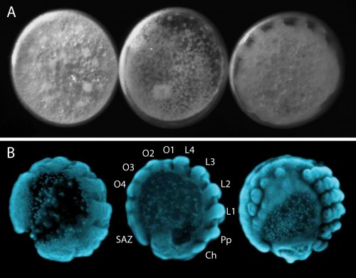Fig 4. Embryonic development of Parasteatoda. It is possible to visualise the development of live embryos by placing them in halocarbon oil (A). Once embryos are fixed the morphology of the embryos is clearly visible with DAPI staining (B) making it ideal to study and characterise dynamic developmental processes like segmentation. Cheliceres (Ch), pedipalps (Pp), walking legs (L1-L4), opisthosomal segments (O1-O4) and the segment addition zone (SAZ).