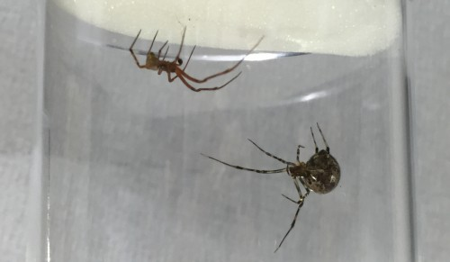 Fig 2. Adult female and male Parasteatoda. The females (left) are larger than the males (right). Notice the large dark pedipalps of the male, which are enlarged compared to those of the females, and are used to deliver sperm to females (see Video).