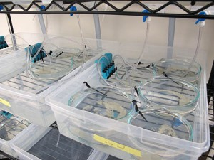 Here is a close-up of our lamprey system. Pictured here are dishes holding ~1000 embryos.