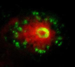 Fig. 2. This image shows the early interaction between the neutrophils (green) and a transformed melanocyte (red).