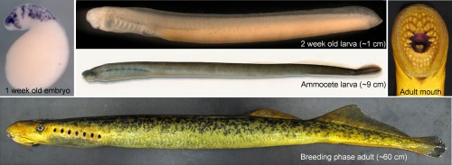 A composite image showing different phases of the lamprey life cycle. The picture of the embryo (left) is stained by in situ hybridization for a gene marking migratory neural crest cells.