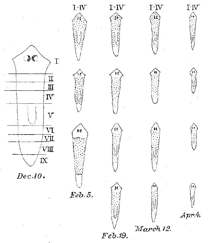 Fig 37 Morgan 1898