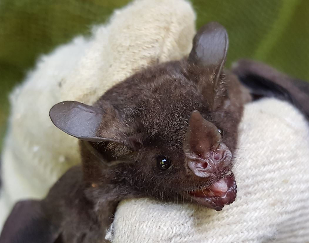 Figure 2: C. perspicillata held by Aaron Harnsberger. Carollia is a phyllostomid (leaf-nosed) bat.