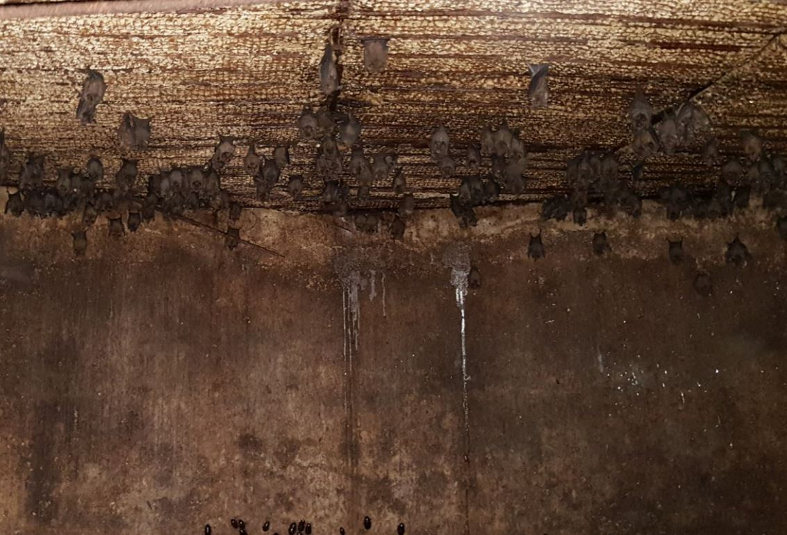 Figure 6: C. perspicillata roosting inside an old abandoned concrete water tank. These types of water tanks have a convenient opening on the top that we enter using a ladder. The bats are seen here cohabitating with cockroaches, just visible in the lower edge of picture.