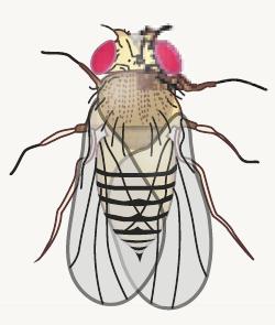 Drosophila DMM