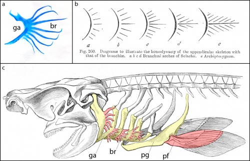 """a. Skeletal preparation of an embryonic shark gill arch, showing branchial rays (br) projecting from the gill arch (ga). b. Gegenbaur's """"Archipterygium"""" hypothesis, illustrating the hypothetical transformation of a gill arch into a fin (from Gegenbaur, 1878). c. A shark head skeleton illustrating putative serial homology of the gill arch and pectoral fin skeleton. Gill arches (ga) and the pectoral girdle (pg) are coloured yellow; branchial rays (br) and the pectoral fin (pf) are coloured red (modified from Owen, 1866)."""