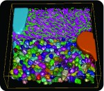 Figure 1: Using tissue geometrical models to derive principles of tissue organization and function. A) Geometrical model of liver tissue generated from confocal microscopy images. The main components of liver tissue architecture are central vein (cyan), portal vein (orange), bile canaliculi (green), sinusoids (magenta) and hepatocytes (random colours). B) Measurements of hepatocytes volume, number of nuclei per cell and DNA content were extracted, and the spatial analysis of the localization of hepatocytes with different ploidy (estimated from the volume, number of nuclei and DNA content per cell) revealed zonation patterns within the lobule. C) These zonation patterns showed a correlation with the metabolic zones in liver, which lead to the generation of the hypothesis of the existence of a possible correlation between cell polyploidy and liver metabolic functions.