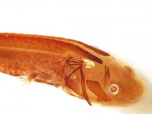 image salamander