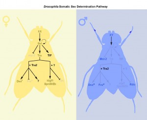 Figure 1 – Drosophila Somatic Sex Determination Pathway. In flies, the number of sex chromosomes (X) determines sex. XX animals develop as females, whereas XY animals develop as males. Two X chromosomes causes the production of an X-derived protein called Sex-lethal (Sxl). Sxl introduces a splice into transformer (tra) pre-mRNA that allows a functional protein to be produced. Many aspects of sexual identity are controlled by Tra and its co-factor transformer2 (tra2) via regulation of doublesex (dsx) and fruitless (fru) pre-mRNA. However, our two recent papers, Rideout et al. (2015) and Hudry et al. (2016), identify at least two additional branches downstream of tra in the regulation of sexual identity: one that is tra2-dependent but dsx-/fru-independent, and another that is independent of tra2 and dsx/fru. These findings reveal additional complexity in the Drosophila sex determination pathway.
