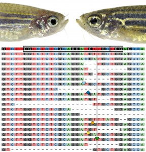 Cas9 RNP-injected zebrafish crispant targeting slc24a5 (golden) on the left, wildtype sibling on the right, and CrispRVariants panel plot depicting the mutant alleles resulting from Cas9 mutagenesis below.
