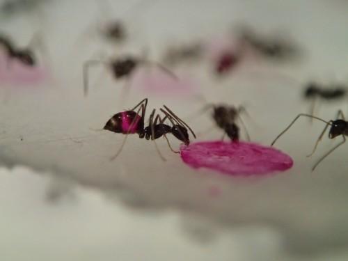 Fluorescent ants