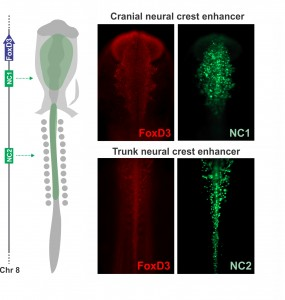 Axial specific enhancers control FoxD3 expression on the neural crest. The NC1 enhancer is active in the cranial region, while NC2 drives reporter expression in trunk neural crest cells.