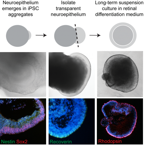 Stages of iPSC differentiation. Bi-laminated neuroepithelium develops a layer of recoverin expressing photoreceptor progenitors which mature into opsin-expressing photoreceptors.