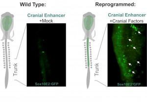 Altering neural crest identity: mis-expression of cranial genes in trunk neural crest cells results in ectopic activity of a cranial neural crest enhancer.