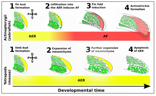 AFIC infiltration into the AER controls fin fold induction. AFICs have a shared somitic origin with the muscle progenitor pool (green) and migrate into the AER (yellow). Upon infiltration into the AER, the AER folds onto itself and forms the AF (red). This infiltration event is absent in tetrapods such as mouse and chicken. AFICs have a dual role in inducing fin fold formation and secreting collagens needed for actinotrichia formation.
