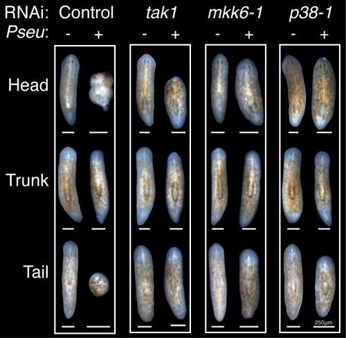 RNAi infect regen