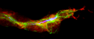 Terminal tracheal cell during the inicial ramification. In red, the cells of the trachea, in green the microtubules and in blue the lumen. (Delia Ricolo and Sofia J. Araújo)