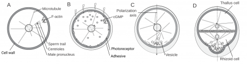 [Scheme - Fucus cell polarisation]