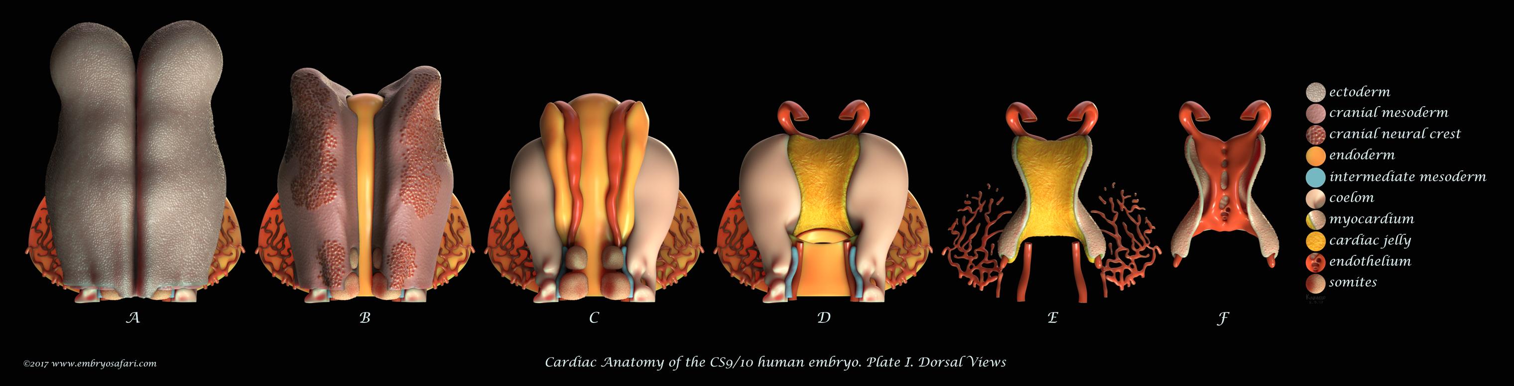 Embryosafari: an attempt at illustrating development - the Node
