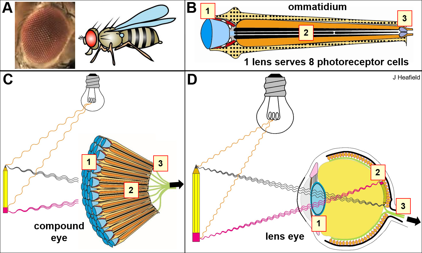 Simple Eye Diagram For Kids Anatomy Of The Compound Eye Of