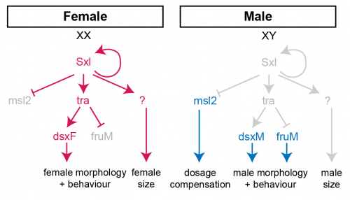 Sex determination in Drosophila