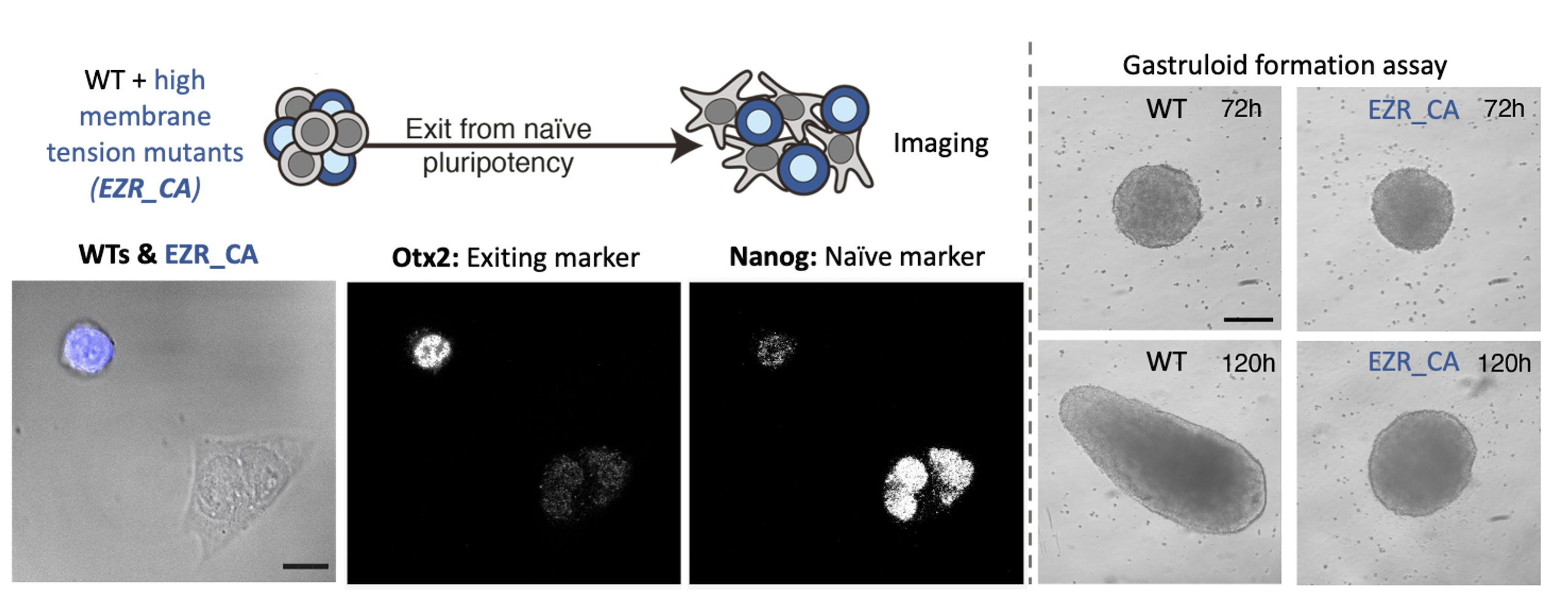 Figure 3: Preventing the decrease in membrane tension results in early developmental defects. On the left is depicted an immunofluorescence assay in which we mix WT and mutant cells (which maintain high membrane tension during differentiation). On the right are pictures of our gastruloids formation assay, which shows that maintaining high membrane tension results in major morphological defects.