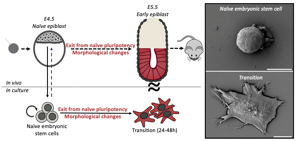 Figure 1: Shape and fate change are concomitant during early differentiation in mouse embryonic stem cells. Schematic and scanning electron microscopy images depicting the change of shape, from round to spread, of differentiating ES cells.
