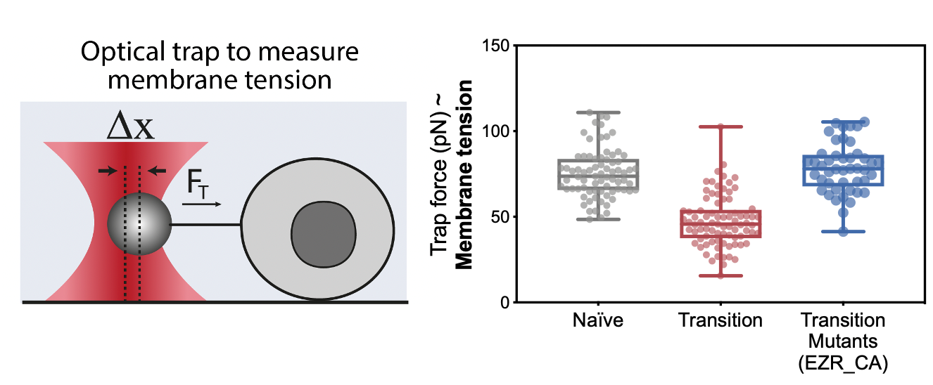 Figure 2: Using a tether pulling assay, we measured membrane tension in ES fate transition. We found that ES cells undergo a drop in membrane tension as they spread during early fate transition. We could prevent this drop using mutants that maintain high membrane tension during this transition